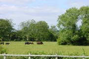 Cattle graze near Barretts Camping shop, Feckenham