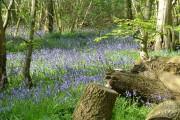 Bluebells in Reydon Wood