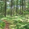 Pine trees in Farley Moor Wood