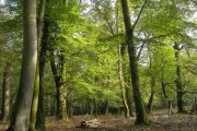 Beech woodland in Bignell Wood, Wittensford, New Forest