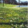 Crocuses in Duthie Park