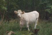 Heifer, Lodge Coppice, Hatfield Forest