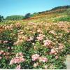 The Rose Hill, Duthie Park