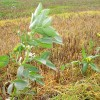 Regrowth of beans and rape