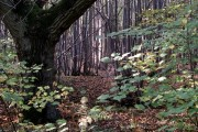 Grange wood - Markshall