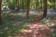 Bluebells in Sherrards Park Wood, north-east area