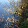 Willows in River Exe