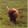 A wonderful specimen - Highland cow