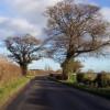 Oaks beside Ox Moor Lane
