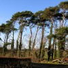 Ivy Clad Pines Near Pow Bridge