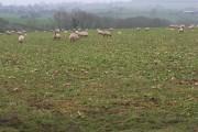 Turnips, Leysters