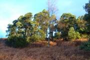 Edge of pine wood northwest of Cragside