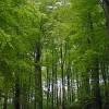 Linacre Beech Wood