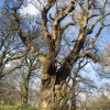 Old Tree at Gwysaney