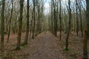 Alders Wood