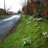 Snowdrops in Symington