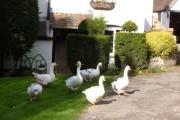 Hampton Loade geese