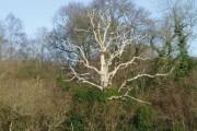 Dead Tree in Hugletts Wood