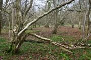 Tar Wood