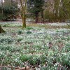 Snowdrops at Carzield