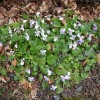 Violets growing wild