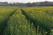 Oil-seed rape, Carswell Marsh
