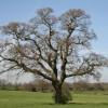 A Tree near The Lea