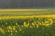 Oilseed rape, Hatford