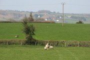 Ewe and lambs, Ashmoor
