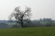 Oak, Lodge Farm