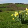 Wild daffodils in Snodhill Park