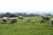 West Anstey: ewes and lambs