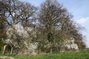 Ladyacre Wood , Calveley