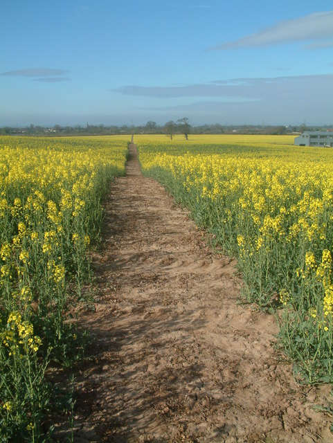 Footpath through fields of gold