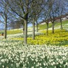 Sea of Daffodils at Kaimhill