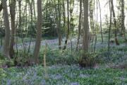 Bluebells in Harmergreen Wood