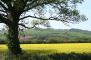 Nether Exe: oilseed rape field at Up Exe