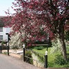 Thorverton: cherry tree