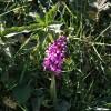 Landkey: Early Purple Orchid