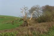 Dead tree in hedge