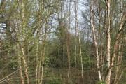 Birches in Fenn's Wood