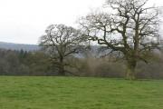 Old oaks, Hatton