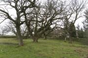 Oak woods, Blackton