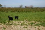 Two lambs in a field near West Putford