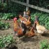 Free Range Poultry in Smallholding, Rudge Heath, Shropshire