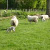 Sheep and lambs near Cawton