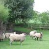 Sheep in Smallholding, Rudge Heath, Shropshire