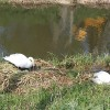 Swans nesting at Thorpe Tilney Dales