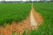 Footpath through wheat, Cadley