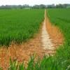 Footpath through wheat, Cadley